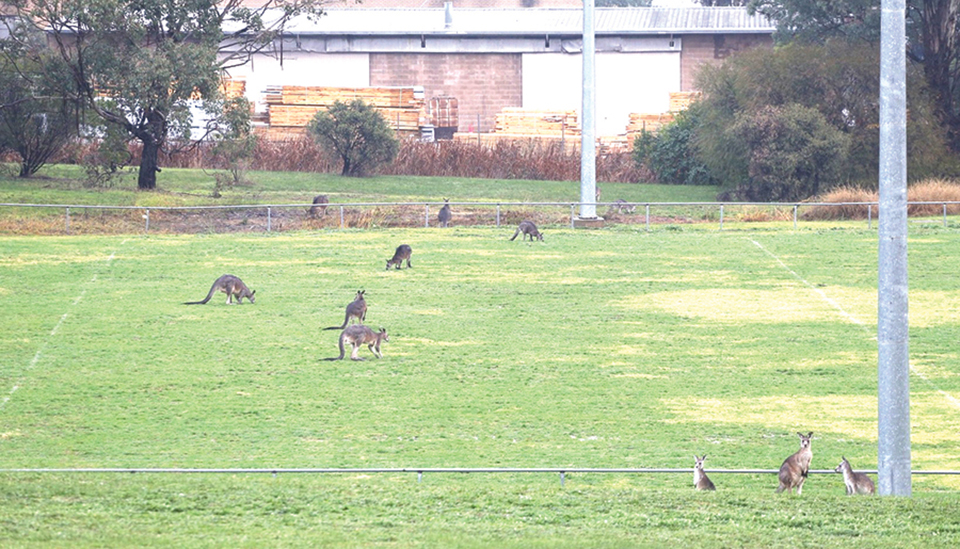 Kangaroos perfectly at home in suburbia: this mob is caught having a graze on the home of Tumut rugby, Jarrah Oval, over the weekend.